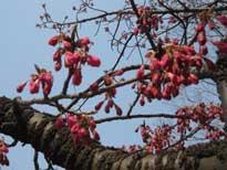 西園-寒緋桜7