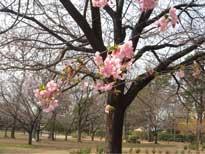 西園-川津桜3