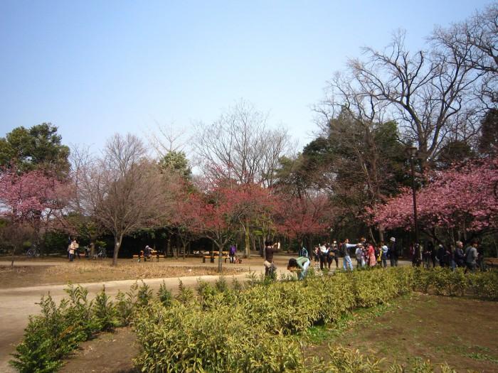 西園-川津・寒桜2